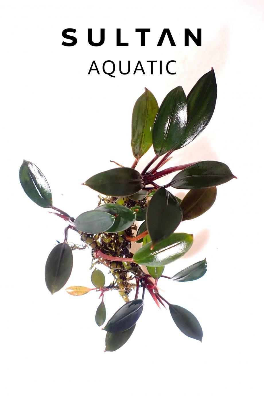 bucephalandra sp Penelope